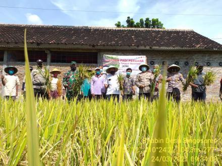 Panen Padi Perdana Kampung Tangguh Nusantara (KTN) Singosaren 1